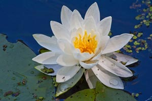 Water Lilly by RZ